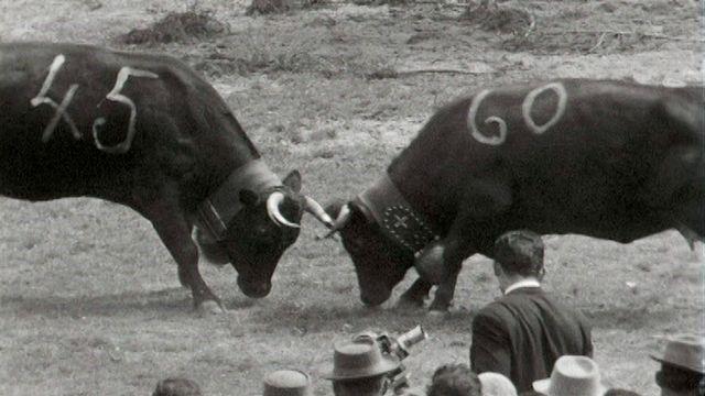 Combat de reines en 1954 en Valais. [RTS]