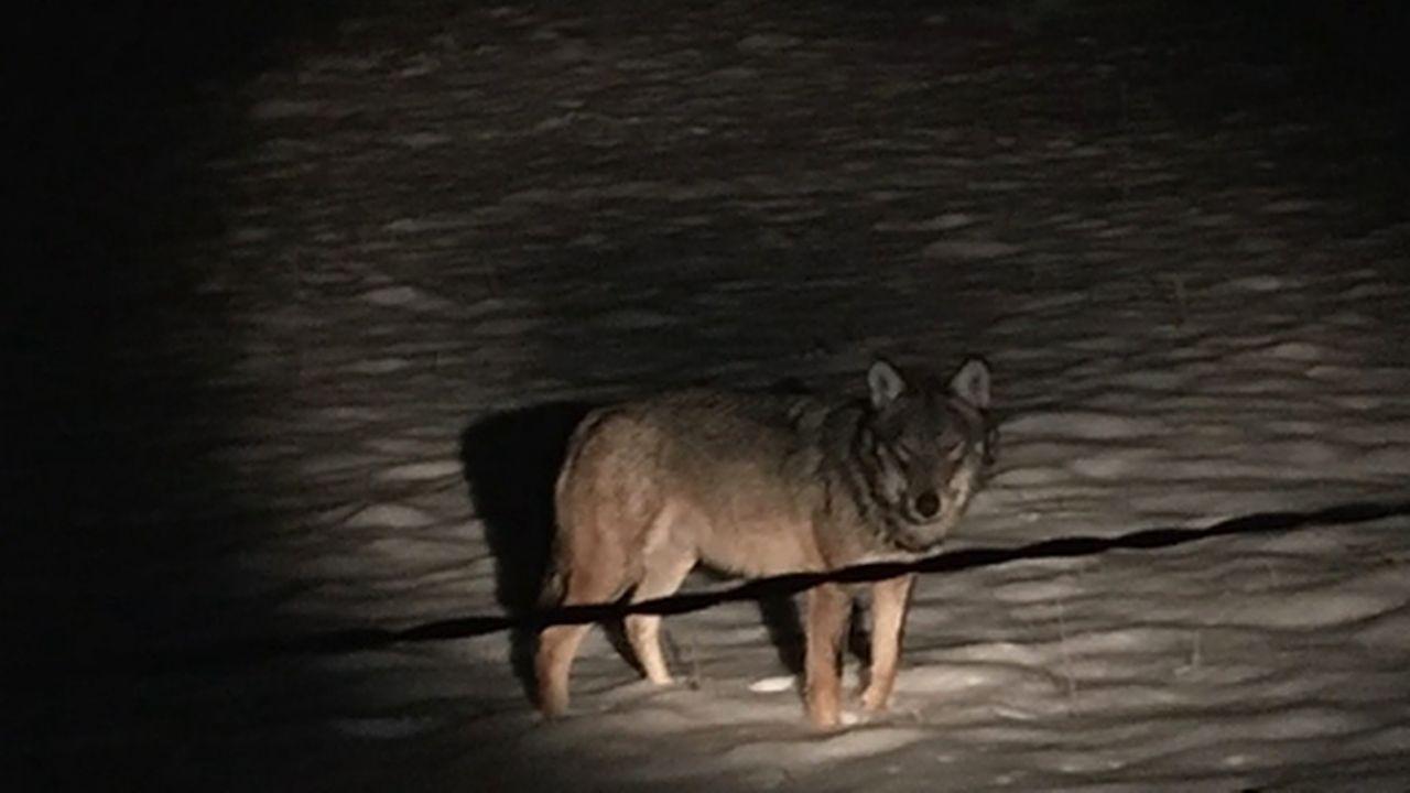 FR: un loup a été aperçu à Bulle [RTS]