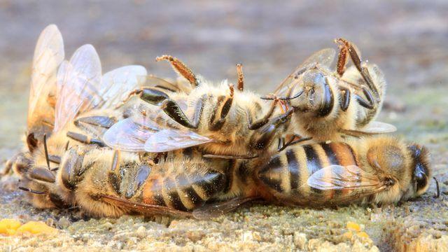Les populations d'abeilles déclinent à travers le monde. Rostichep Fotolia [Rostichep - Fotolia]