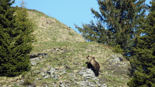 La photo de l'ours aperçu à Eriz, dans le canton de Berne. [Inspectorat de la chasse du canton de Berne]