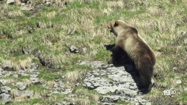 Canton de Berne: on a vu l'ours, 190 ans après sa dernière apparition [RTS]