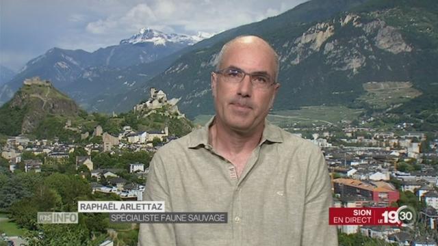 Retour de l'ours à Berne: l'éclairage de Raphaël Arlettaz, spécialiste faune sauvage, à Sion [RTS]