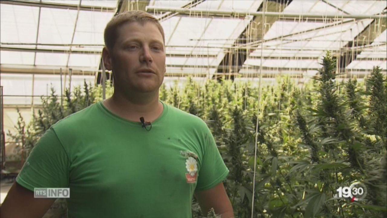 La culture du cannabis explose au Tessin, canton restrictif [RTS]