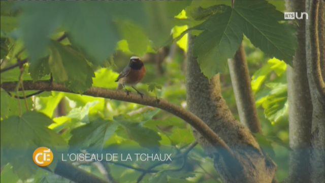 Coup de projecteur sur le rougequeue à front blanc, un oiseau rare [RTS]
