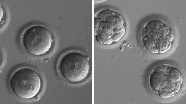 A gauche, des ovules nouvellement fécondés et, à droite, des embryons après la correction de gènes et plusieurs divisions cellulaires. [Université des Sciences et de la Santé d'Oregon - DR]