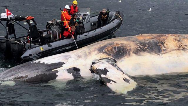 La plupart des dix carcasses de baleines retrouvées au large de l'estuaire du Saint-Laurent depuis le début de l'été portaient des traces d'enchevêtrement dans des câbles ou des filets de pêche. [Marine Animal Response Society/The Canadian Press  - Keystone]