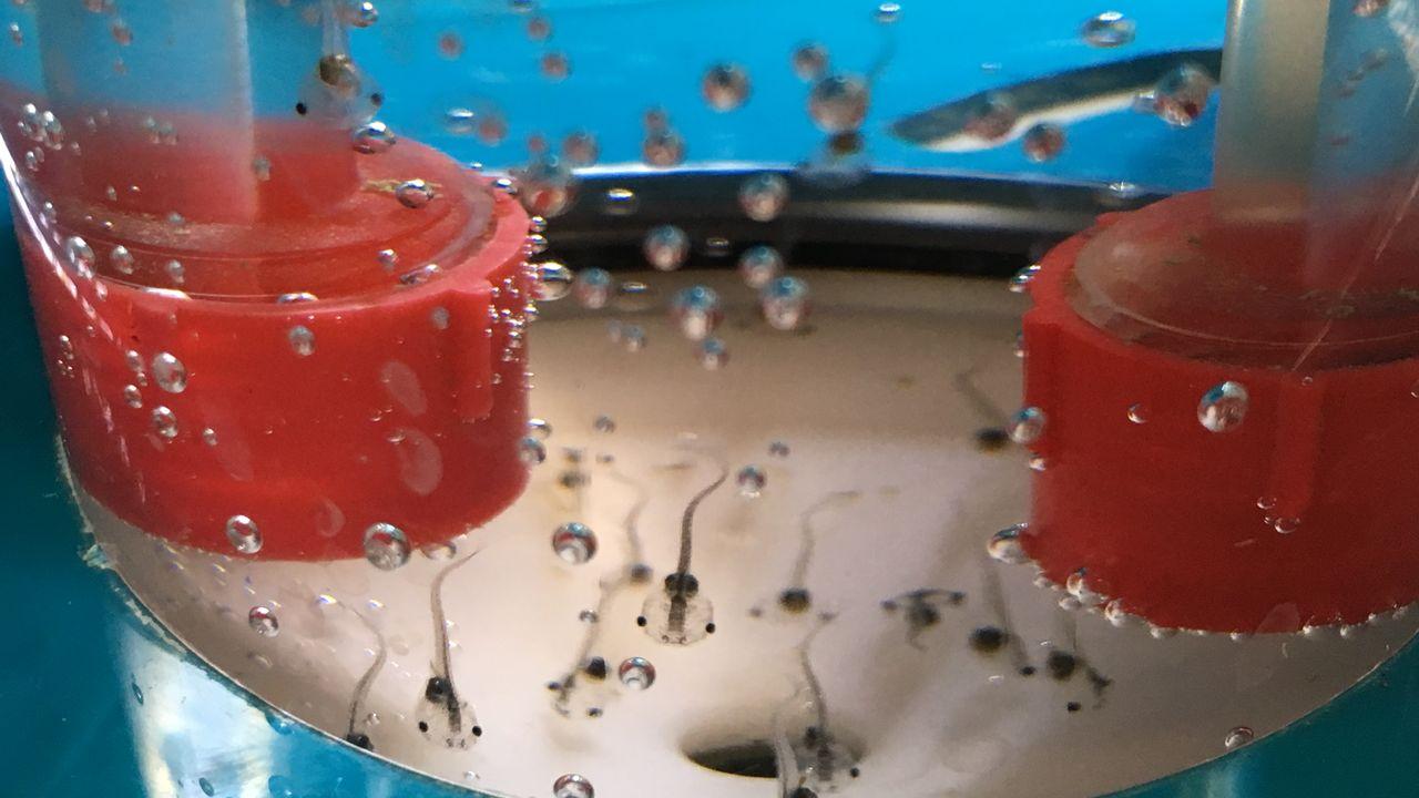 Ces têtards permettent de détecter la présence de perturbateurs endocriniens dans l'eau. [Ville de Lausanne]