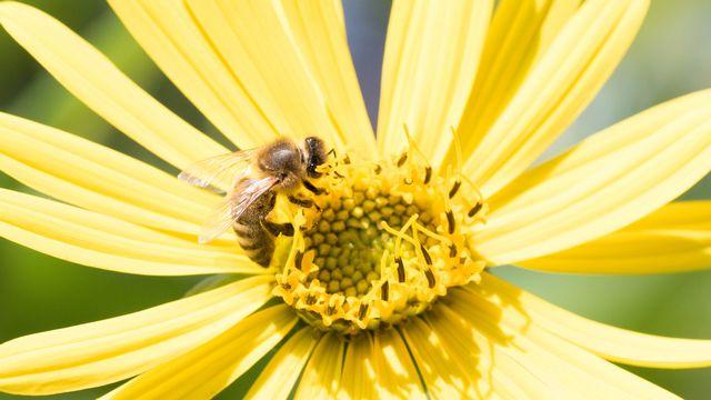 Les abeilles sont contaminées en butinant les fleurs et les cultures. [Mohssen Assanimoghaddam - Keystone]