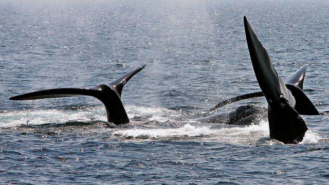 Des baleines franches remontent à la surface du Saint-Laurent, au Canada (image d'archive). [Stephan Savoia - Keystone]