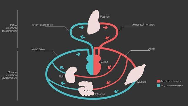 Infographie du dossier de RTSdécouverte sur le sang. [Agnès Rubin - RTS Découverte]