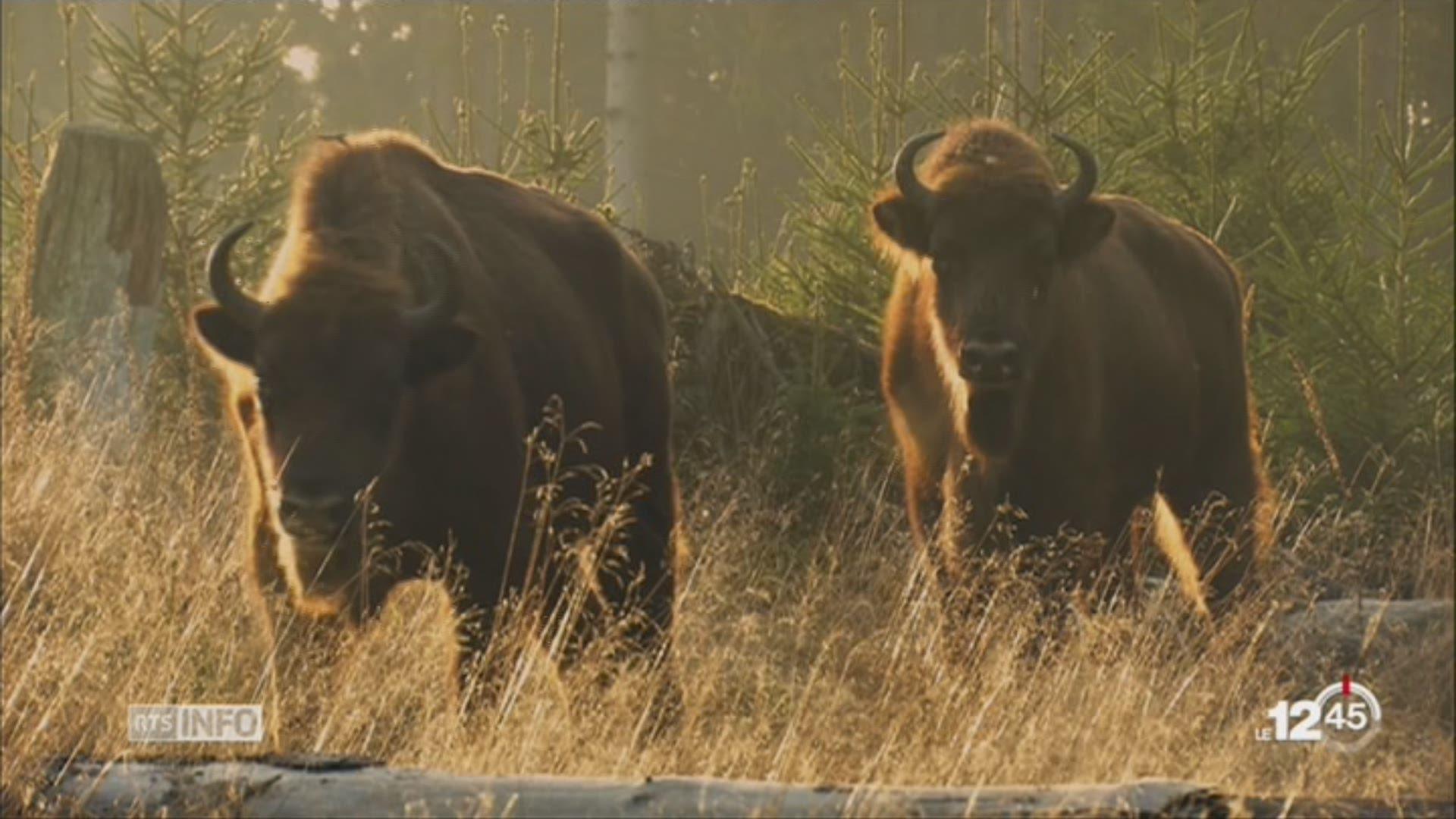 Des bisons à l\'état sauvage en Suisse, le rêve fou d\'un paysan bio ...
