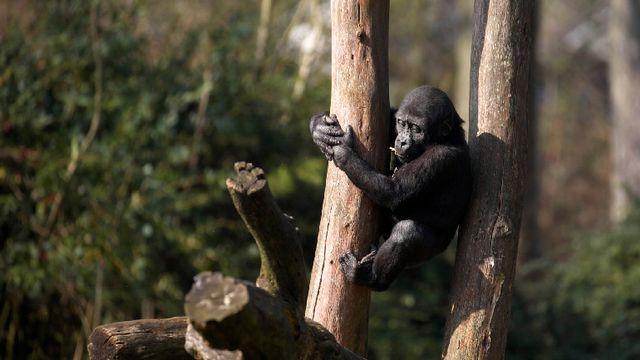 Un jeune gorille dans un parc animalier aux Pays-Bas. [RTS/Oxford Scientific Films 2015]