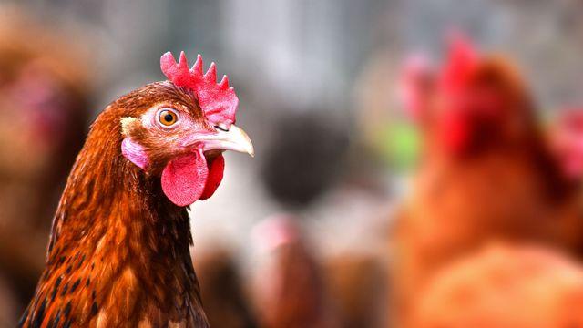 Du poulet allemand bourré aux antibiotiques [monticellllo - © Fotolia]