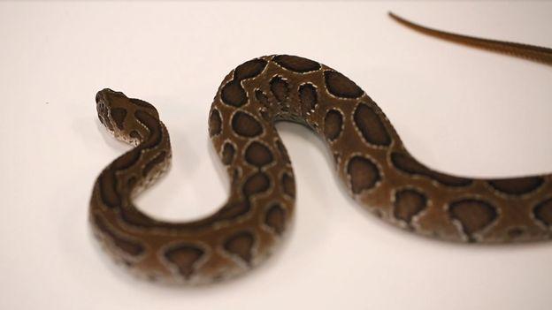 l 39 exp rience du mois comment le venin d 39 un serpent peut tuer un homme. Black Bedroom Furniture Sets. Home Design Ideas