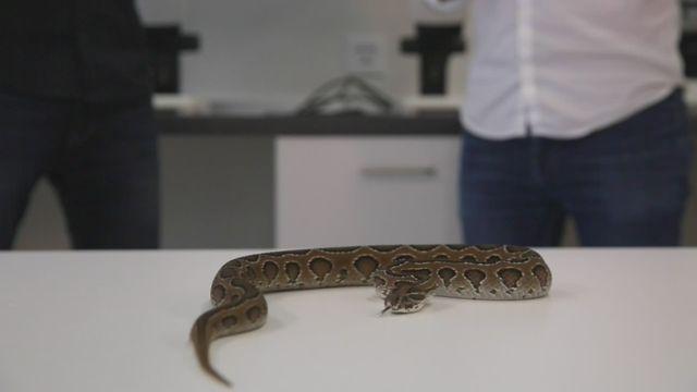 L'expérience du mois: comment le venin d'un serpent peut tuer un homme? [RTS]