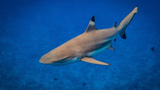 Reportage sur la durée de vie des requins avec Daniel Cherix. [Bastian - Fotolia]