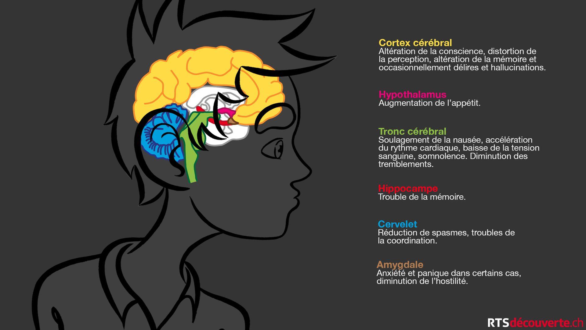 Le THC, molécule psychotrope du cannabis, se fixe à des récepteurs cannabinoïdes de l'organisme situés notamment dans le cerveau. [Thierry Vilbert - RTS Découverte]