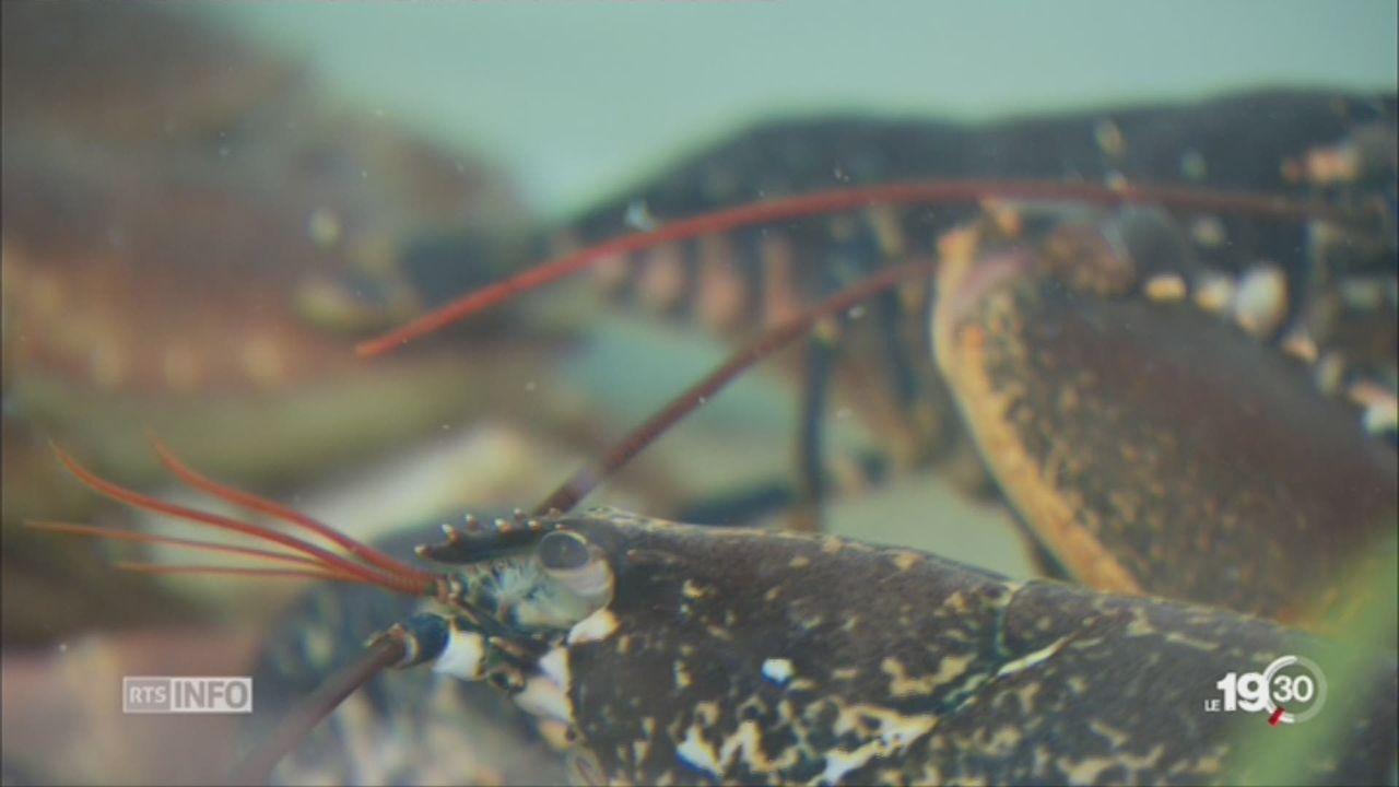 Les homards devront être étourdis avant d'être mis à mort [RTS]