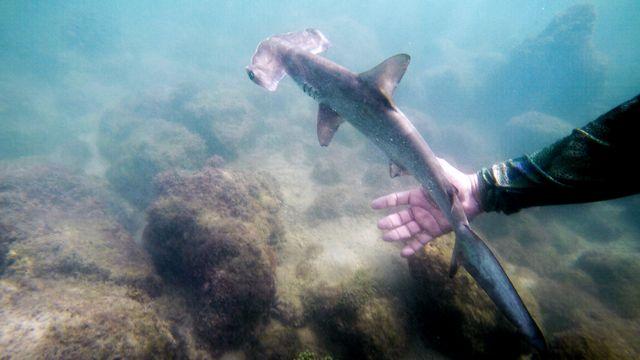 Un bébé requin-marteau dans une pouponnière de l'archipel équatorien des Galapagos, en janvier 2018. [PABLO COZZAGLIO - afp]
