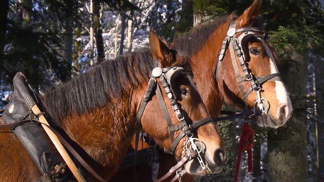Des chevaux de trait. [RTS]
