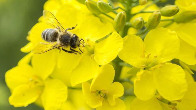 Une abeille qui butine. [anix - Fotolia]