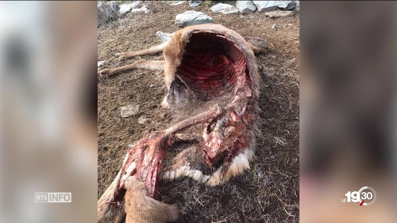 980 cadavres d'animaux morts d'épuisement retrouvés en Valais [RTS]