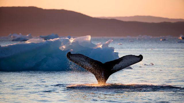 Les baleines boréales, ou baleines du Groenland, ne chantent que sous certaines conditions. [David Goldman - keystone]