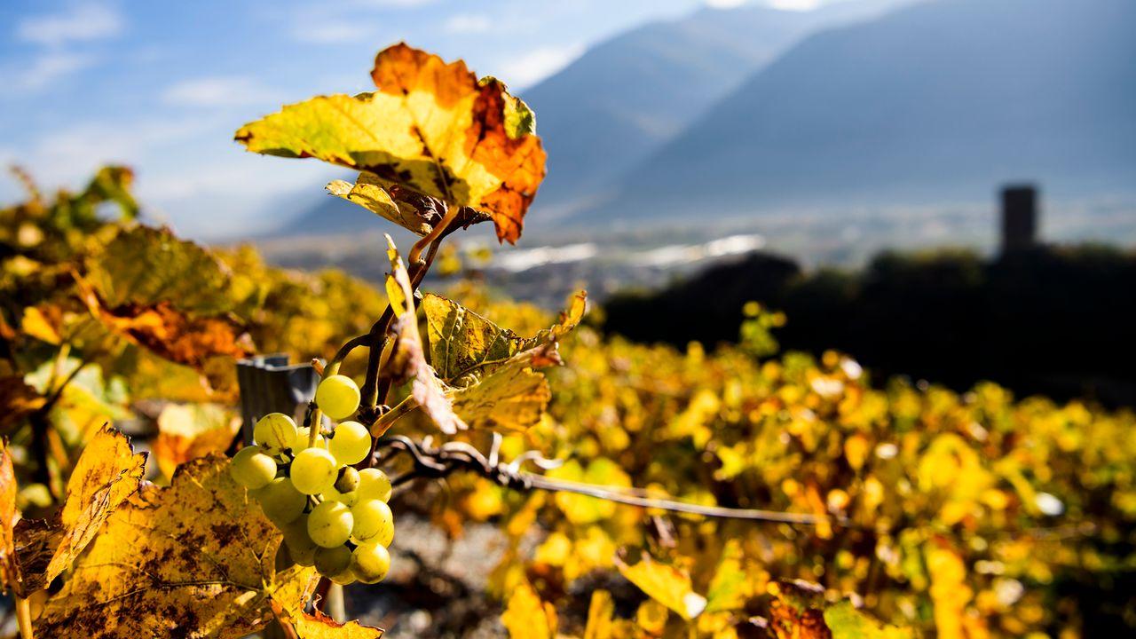 Les vignerons suisses sont toujours plus nombreux à succomber à la vague du bio. [Jean-Christophe Bott - Keystone]