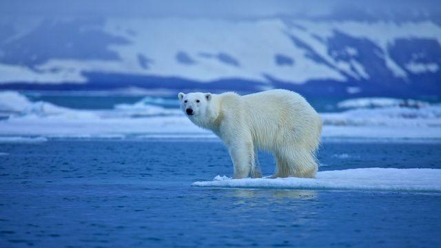 L'ours polaire, symbole du changement climatique. [st__iv - Fotolia]