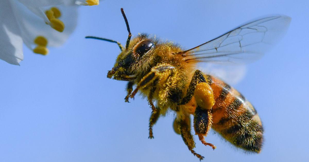 L'Union européenne interdit trois pesticides dangereux pour les abeilles -  rts.ch - Environnement