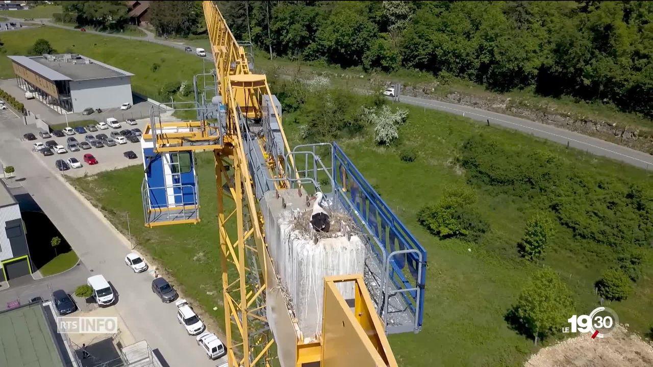 A Porrentruy, un couple de cigognes a construit son nid au sommet d'une grue de chantier [RTS]