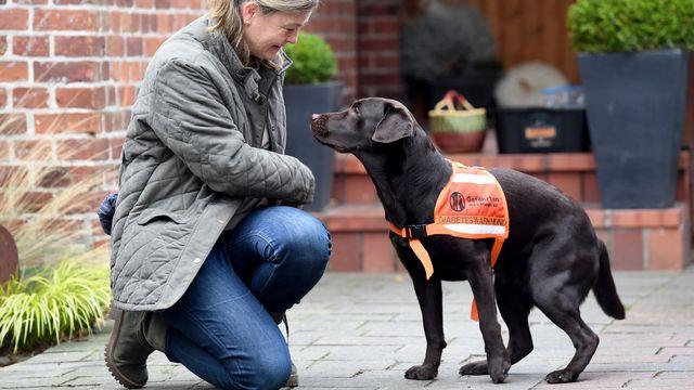 Cette chienne est dressée pour détecter l'hypoglycémie chez les patients diabétiques et peut demander de l'aide en cas d'urgence. [Carsten Rehder - DPA]
