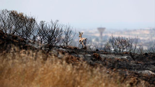 Une gazelle dans un champ brûlé le long de la frontière entre Israël et Gaza.  [Amir Cohen - Reuters]