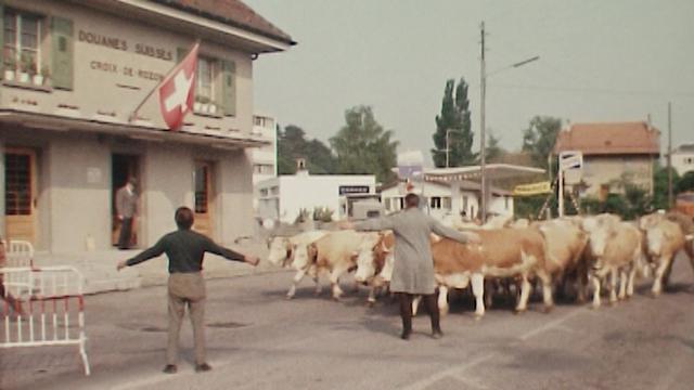 Un troupeau de vaches s'apprête à franchir la douane entre la Suisse et la France lors de l'inalpe, 1975. [RTS]