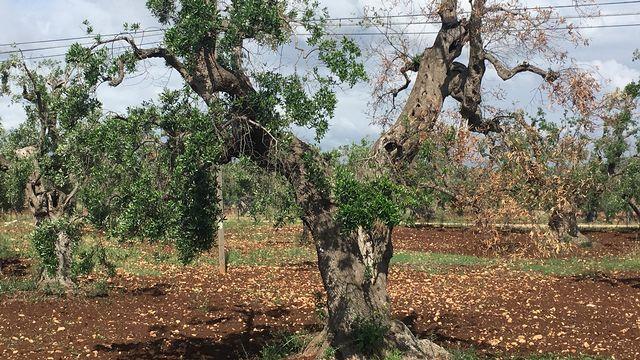 Près d'Ostuni, un olivier qui commence à sécher, apparemment attaqué par xylella fastidiosa. Silvio Dolzan RTS [Silvio Dolzan - RTS]