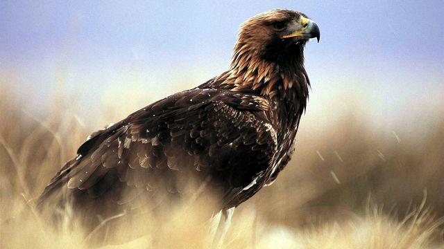 Un aigle royal en Ecosse.  [EPA/RSPB/Laurie Campbell - Keystone]