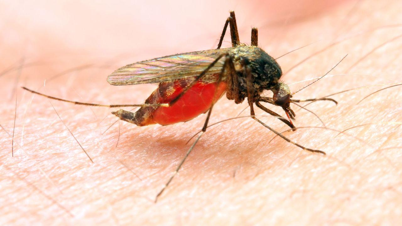 La malaria est transmise par une femelle moustique du genre Anopheles. Kletr Fotolia [Kletr - Fotolia]