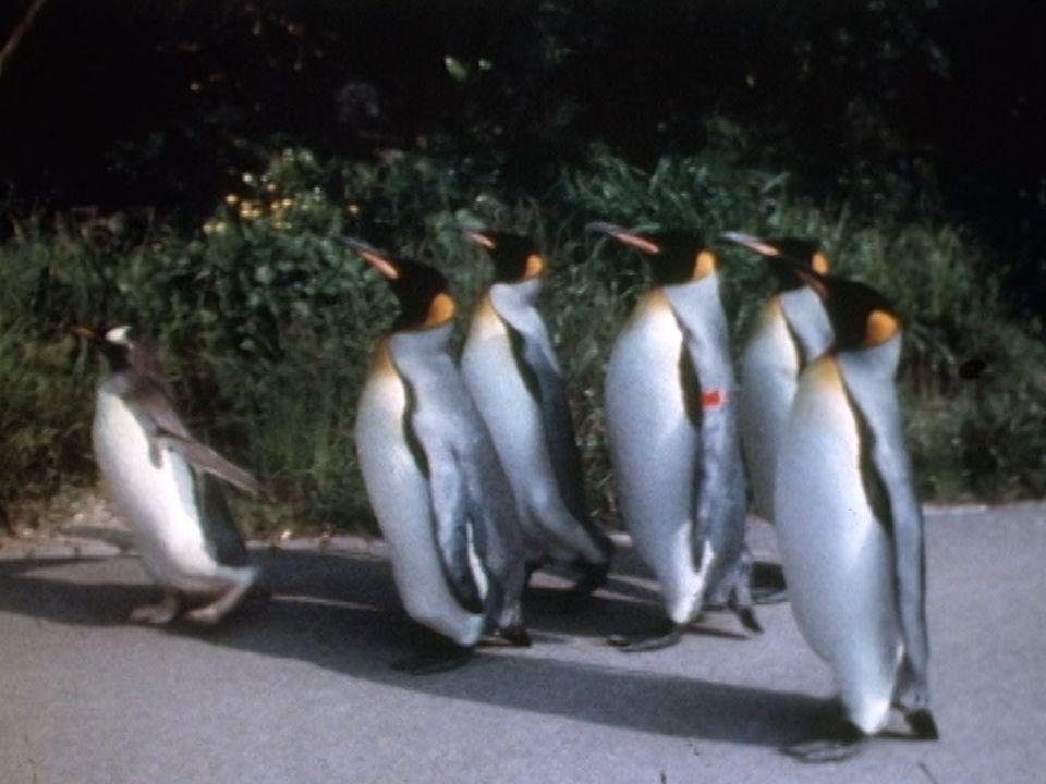 Promenade des manchots du zoo de Bâle en 1974. [RTS]
