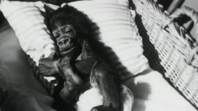 Bébé gorille Goma dormant dans son berceau en 1960. [RTS]