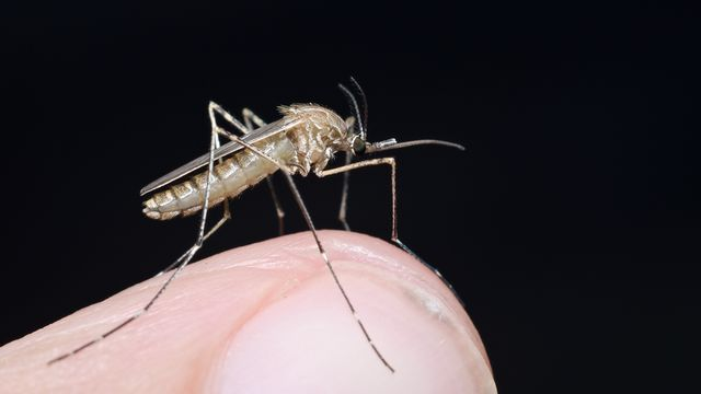 Le virus Usutu est transmis par un moustique de l'espèce Culex Pipiens. saccobent Fotolia [saccobent - Fotolia]