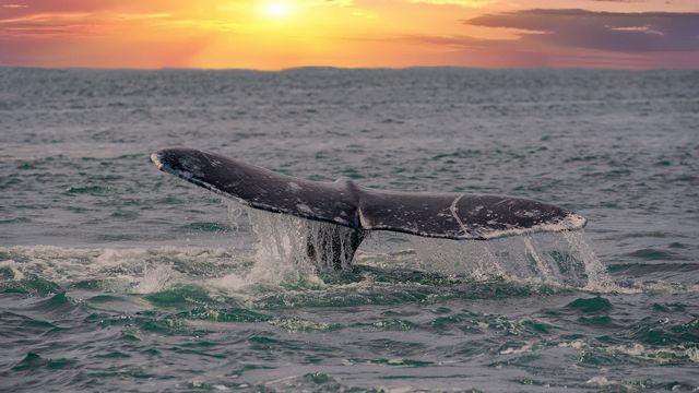 Les baleines grises ont déserté la Méditerranée depuis bien longtemps. Andrea Izzotti Fotolia [Andrea Izzotti - Fotolia]