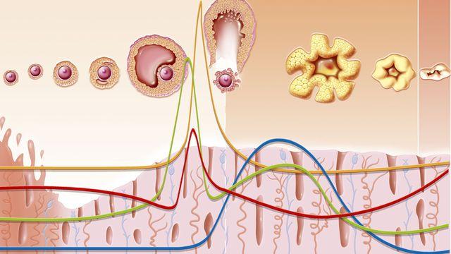 Les règles ne sont que la partie visible du mécanisme des hormones féminines. [Jacopin - BSPI/AFP]