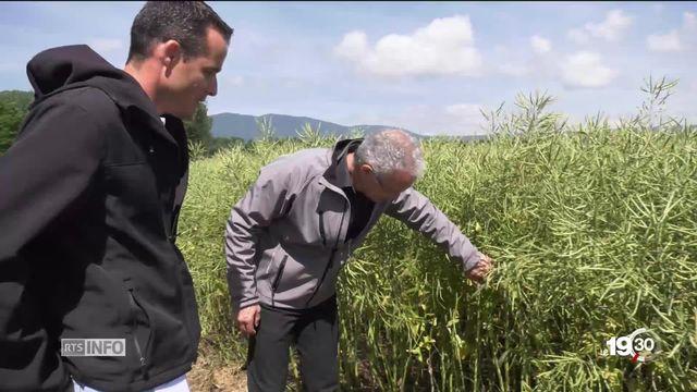 Alternatives aux pesticides: des exploitants se portent volontaires pour tester sur leur domaine les dernières technologies. [RTS]