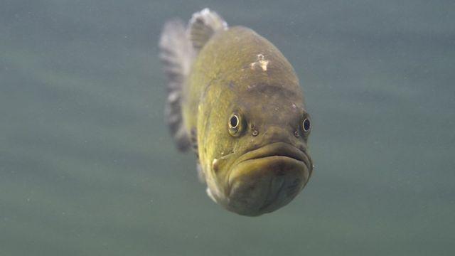 Le black bass provient d'Amérique du Nord, mais des pêcheurs l'ont aperçu dans le Léman (image d'illustration). [Yannick Gouguenheim - Biosphoto]