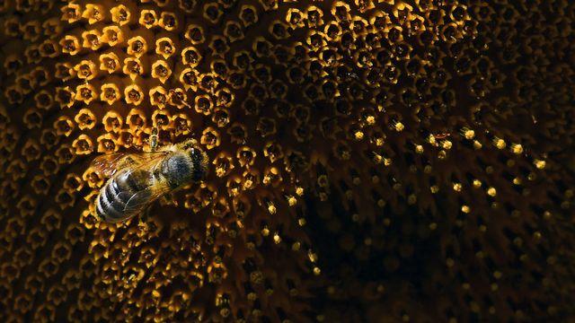 Lundi 30 juillet: une abeille en plein travail sur un tournesol, près de Dortmund, en Allemagne. [Ina Fassbender - DPA/Keystone]