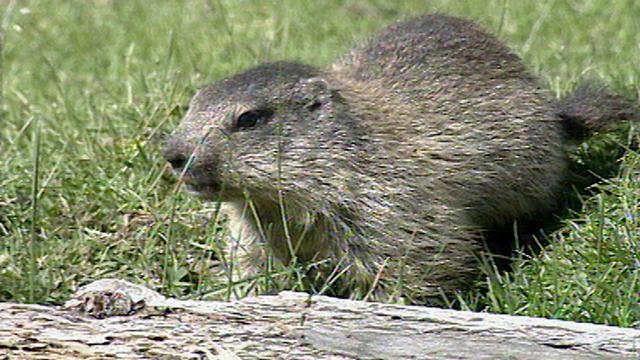La marmotte [RTS]