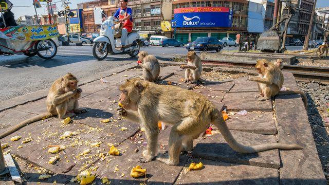 Des macaques se régalent des restes d'un marché à Lopburi en Thaïlande. (image d'illustration) [Franck Guiziou - AFP]