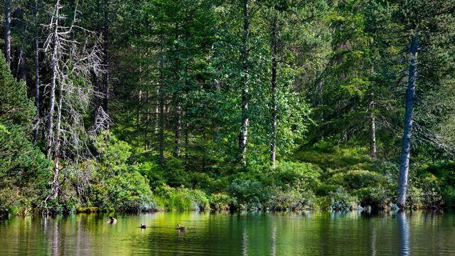 La forêt sur les bords de l'étang de la Gruère dans le Jura. [Martin Ruetschi - Keystone]