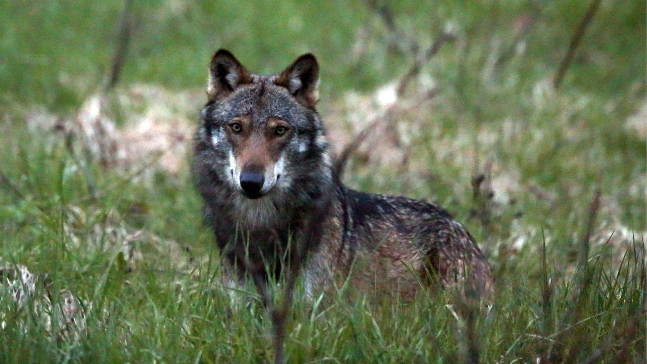 Un loup photographié en 2013 dans la vallée de Conches, en Valais. [Marco Schmidt - Keystone]