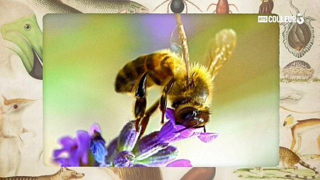 Coitus Animalus - L'abeille